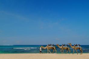 沙灘騎駱駝